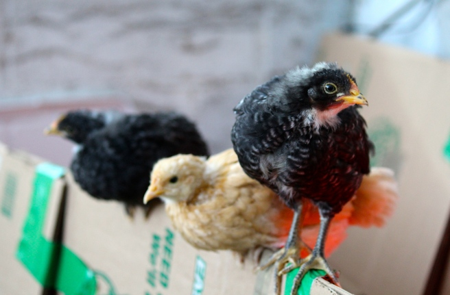They grow up fast and soon learn to use their wings. Here they are hanging out on top of their box, practicing their roosting skills