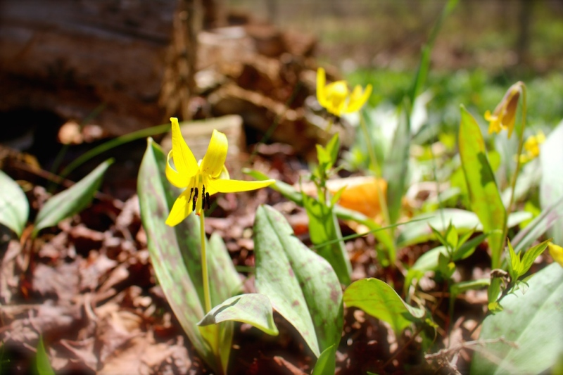 Trout lilies announcing their arrival at last.