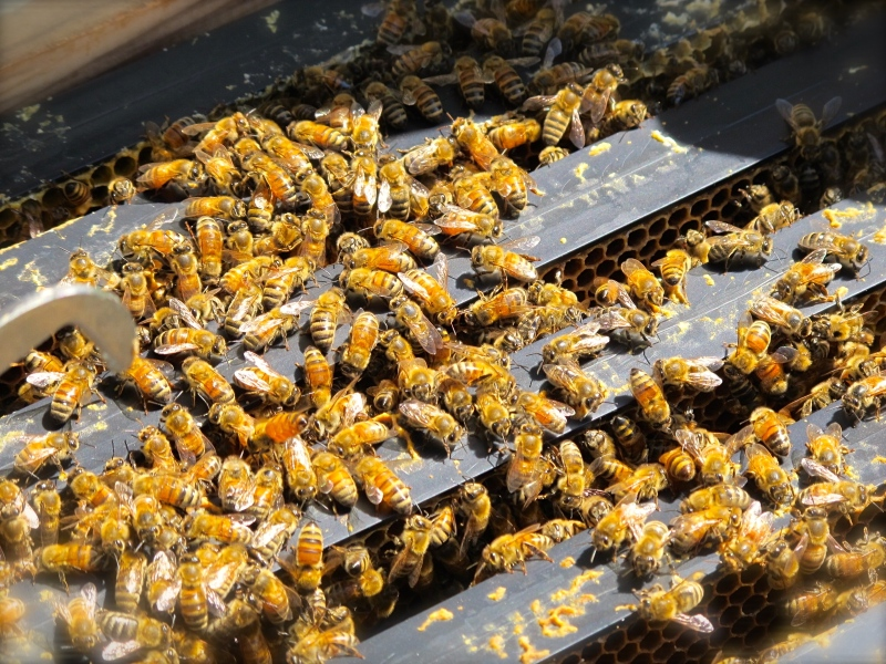 Worker bees build comb on plastic foundation frames. Here they are, busy as ever, when a hive is opened.