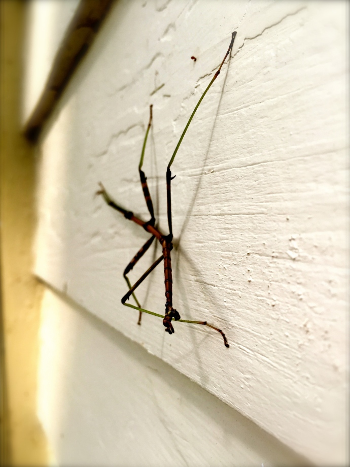 A walking stick hangs out on the house this summer