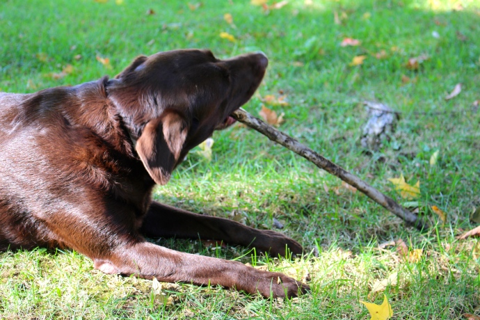My dog Hannah chews busily, trying to help dispose of a never-ending supply of sticks.