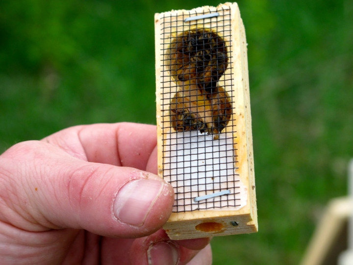 Queens arrive in their own personal little cage. Protected from the other bees on first introduction to a new hive, they must eat their way out, allowing worker bees to become used to their scent.