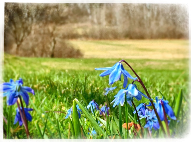 scilla in bloom