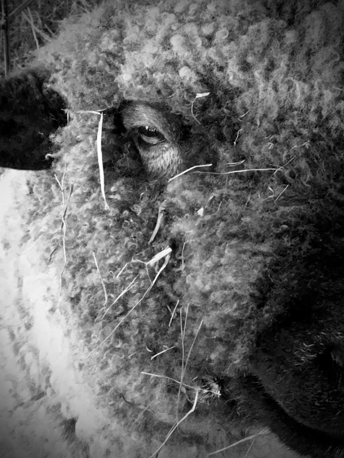 meeting-sheep2