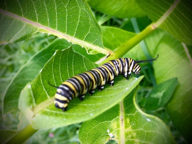 monarch caterpillar.jpg