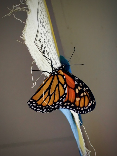 monarch1